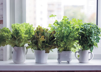 Indoor Edible Gardening, Image: shintartanya/AdobeStock.com